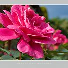 Beautiful  Nature: Roses - 11 by houk