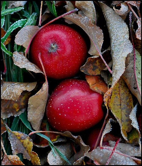 Frosty Apples by Nancy Barrett