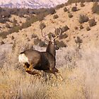 Mule Deer on the go by Tim Harper