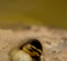 Sleeping Duckling by Tamara  Kenneally