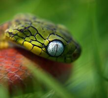 Cat eyed snake by AngiNelson