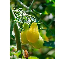 Yellow Pear Tomatoes on Vine  Photographic Print