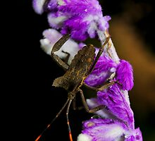 Long horn Beatle on a purple flower. by photowes