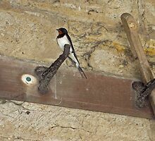 House Martin by Ryan Davison Crisp