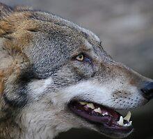 Wolf at Innsbruck by Daidalos