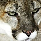 Mountain Lion by Jimlhanson