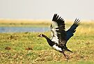 Spur-winged Goose by Neville Jones
