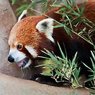 Ailurus fulgens by Jason Asher