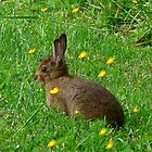 A wild bunny by Marie Terry