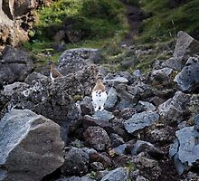 Ptarmigans on Rocks, Go∂afoss, Iceland by hinomaru