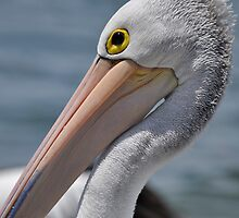 The Eye of the Beholder - Pelican by Barbara Burkhardt