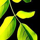 Acacia #2 by Kitsmumma