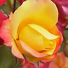 Yellow rose blush by mooksool