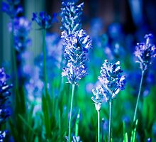 Lavender Blue by StuartStevenson