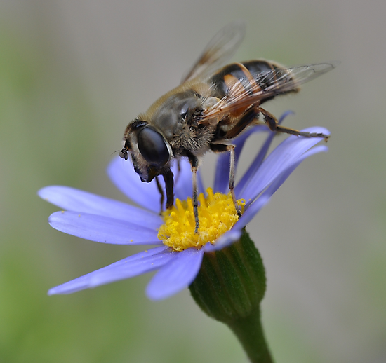 Syrphid Fly on Blue Marguerite by Edge-of-dreams