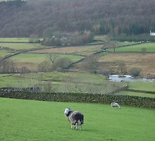 sheep in duddon valley by Clare Gelderd