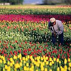 Picking the good ones on a tulip farm by Jeff Hathaway
