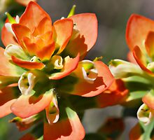 Orange Indianpaint Brush by Lori Gagliano