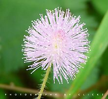 Touch me not - flower by shajith