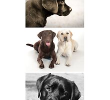Those Crazy Labradors by Kristina Gavrilovic