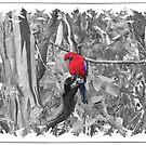 Rosella..Selective Colouring by judygal