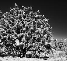 joshua tree - mojave by Justin Gibbs