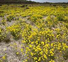 Spring Blossoms - Kangaroo Island, South Australia 2008 by Dan & Emma Monceaux