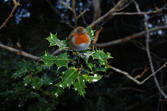 Holly Robin  by Declan Carr