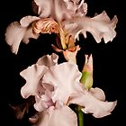 White Iris by Danny Clarkson