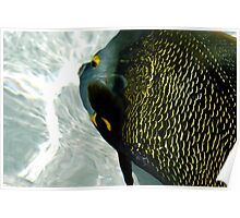 Friendly French Angelfish Poster