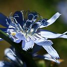 blues of a wild chicory by CheyAnne Sexton