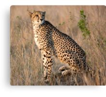 Male Cheetah Canvas Print