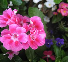 Gregarious Geraniums by MarianBendeth