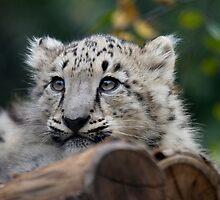 Baby Snow Leopard VI by Daniela Pintimalli