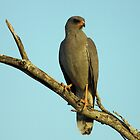Dark Chanting Goshawk by Michael  Moss