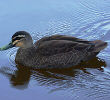Pacific Black Duck on Lake Daylesford by Meg Hart