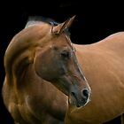 Stallion portrait by laurav