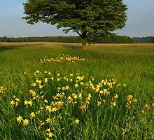 Day Lilies in a Meadow of an Old Homestead by Robert deJonge