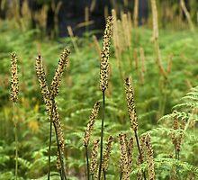 Xanthorea (Grass trees), mass flowering at Marysville... by Rosie Appleton