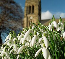 Snowdrops in Helmsley by beanocartoonist
