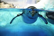 :: Penguin at Nagoya Aquarium :: by kmkmonkay