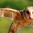 Masked Owl by Christopher Cole
