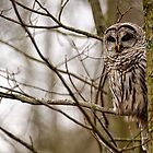 Barred Owl - Presqu&#x27;ile Park by Michael Cummings
