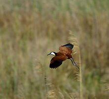 Lily trotter in flight by Yolande van der Merwe