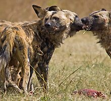 Wild Dogs Feeding by Aldi221