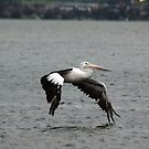 Pelican (3/5) -NSW by CasPhotography