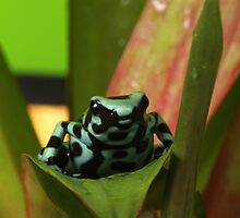 Dendrobates Poison Dart by Adam Webb