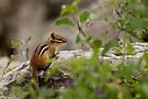 Chipmunk on Rocks - Ottawa, Ontario by Michael Cummings