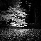 Autumn Maple, Westonbirt by Dave Sayer