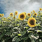 Sunflower Storm by DeerPhotoArts